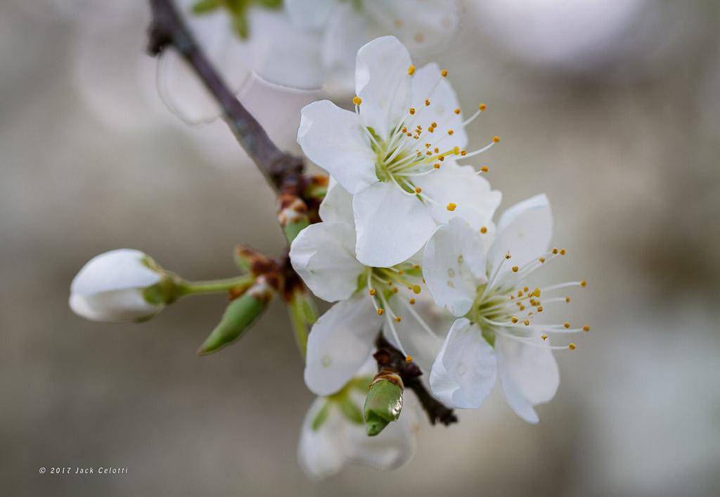 fiore di susino in primavera