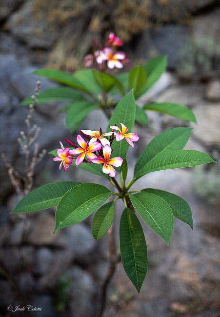 un fiore dei giardini La Mortella